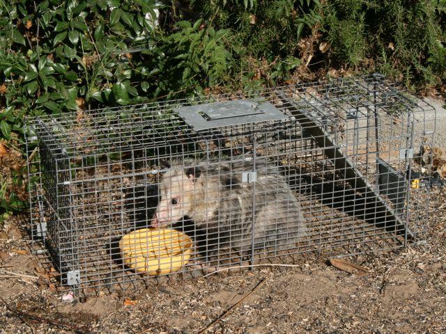 opossum remival