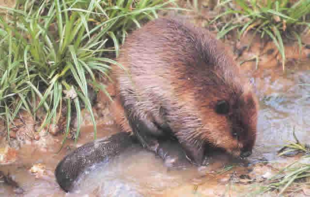 get rid of beaver