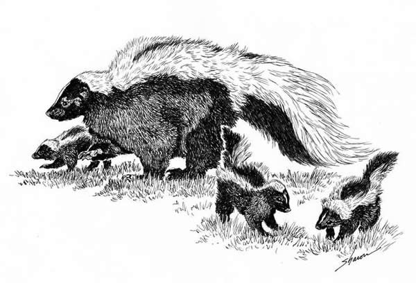 A mother and baby skunks, drawing