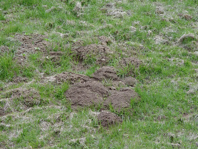 gopher control how to get rid of gophers kill gophers