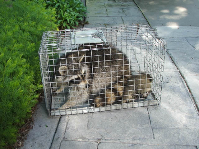 Raccoon Removal Trapping Raccoons Allstate Animal Control