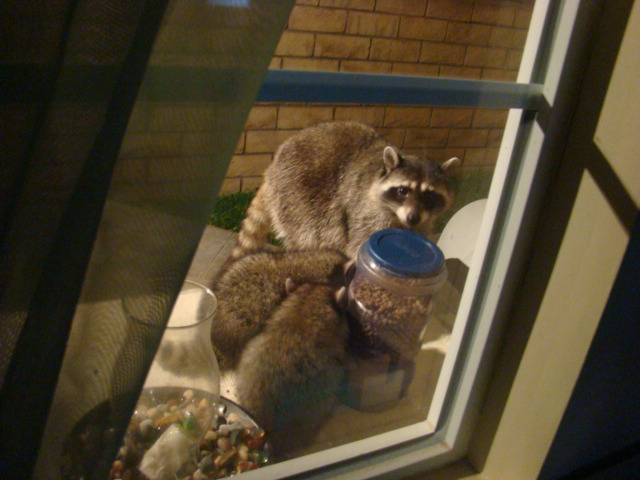 raccoon family eating