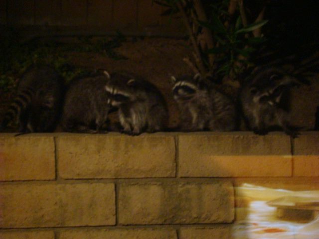 raccoons in a row
