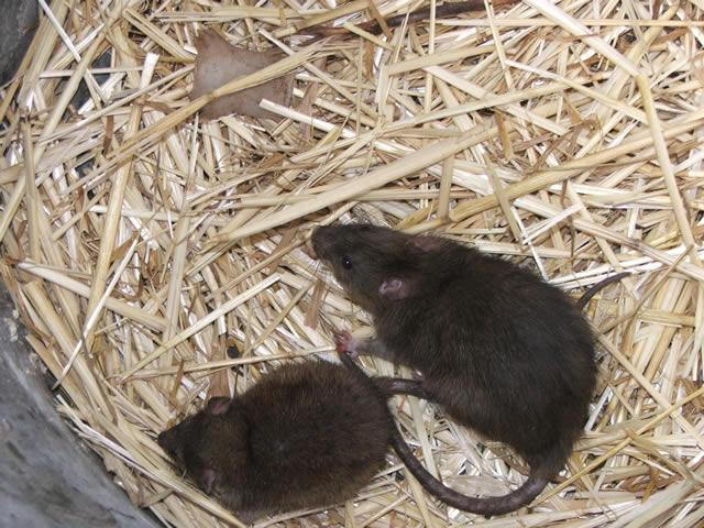 Pair Of Rats