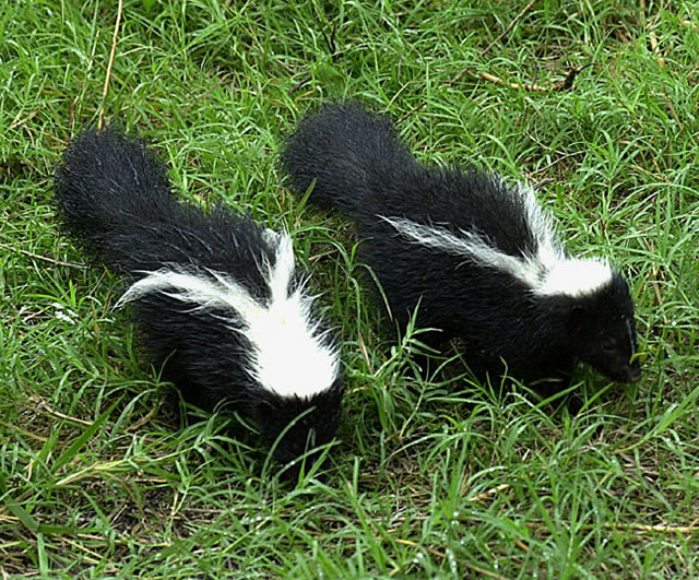 ordinary how to get rid of a skunk Part - 11: ordinary how to get rid of a skunk design ideas