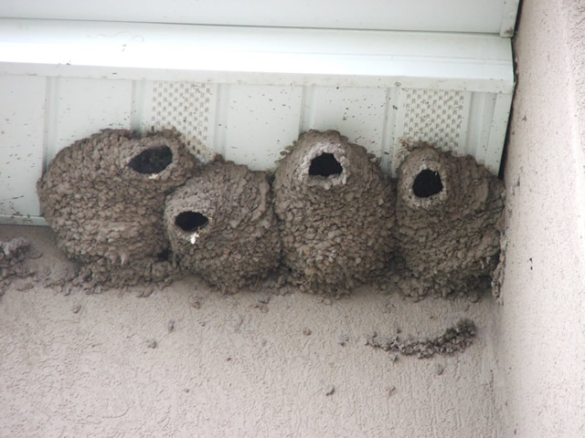 Swallow Control Mud Swallows Allstate Animal Control