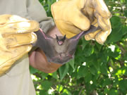 Allstate Animal Control photo bat