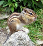 Allstate Animal Control photo chipmunk