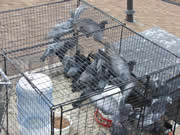 Allstate Animal Control, many pigeons in a live trap