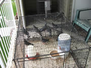 Allstate Animal Control, get rid of pigeons by live trapping