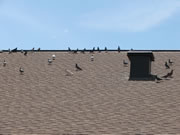 Allstate Animal Control, trapping pigeons from a rooftop