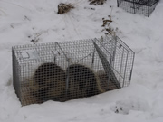 Allstate Animal Control photo two porcupines in a trap