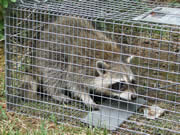 Allstate Animal Control raccoon trap