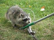 Allstate Animal Control tech catching a raccoon with a snare pole