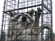 Allstate Animal Control raccoon extermination