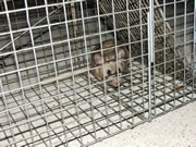 rat in a cage trap