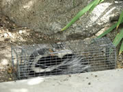 Allstate Animal Control skunk cage
