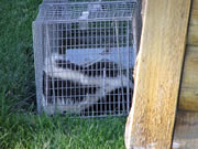 Allstate Animal Control, skunk cage