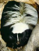 Allstate Animal Control provides skunk removal