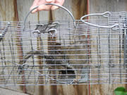 Allstate Animal Control squirrel in cage