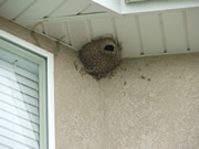 Allstate Animal Control, muddy swallow nest