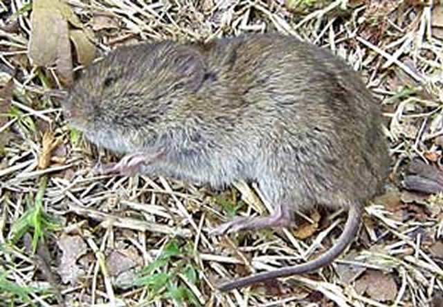 Poison Control Utah >> Vole Control | How to Get Rid Of Voles | Vole Removal