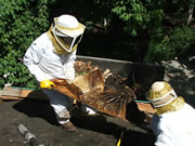 Allstate Animal Control technicians removing honeycomb from a roof