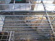 Allstate Animal Control cage with trapped rabbit