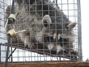 Allstate Animal Control trapped raccoon