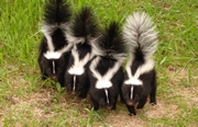 Allstate Animal Control can remove baby skunks