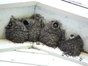 Allstate Animal Control removes swallow nests